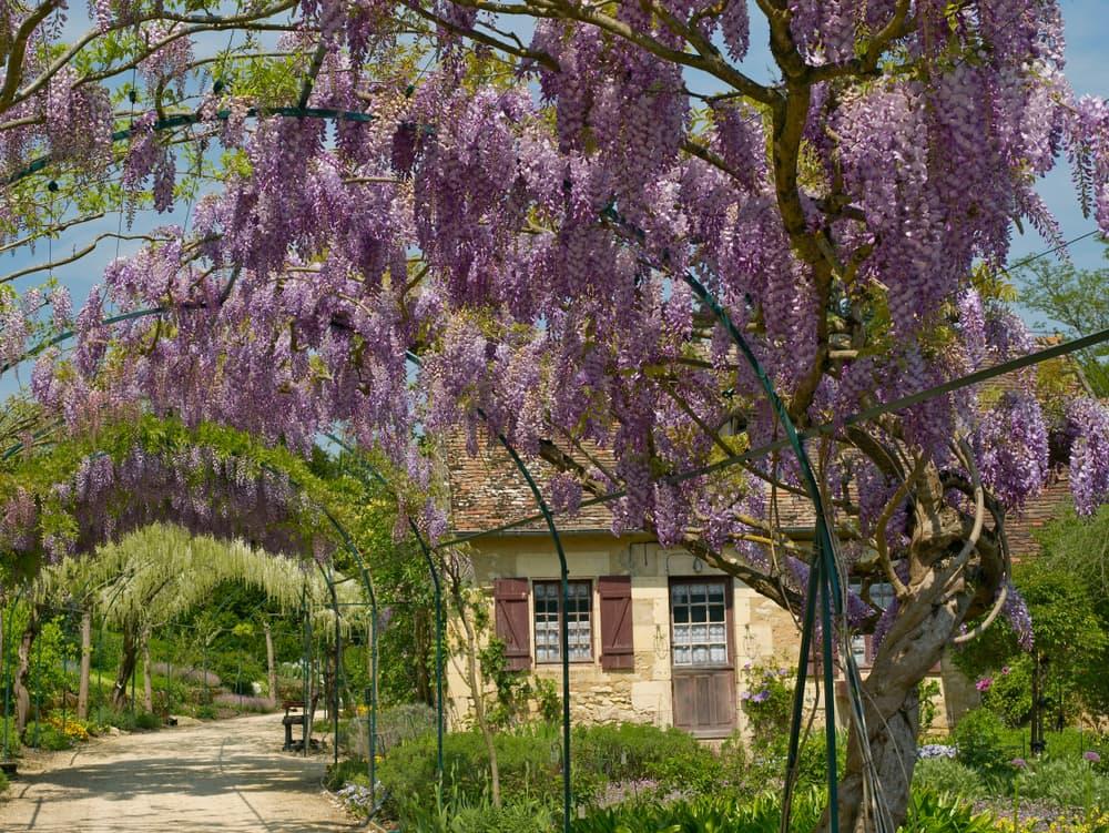 a climbing wisteria walk in a Paris park