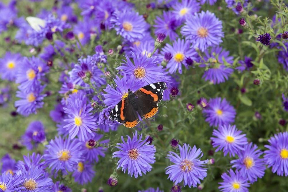 beautiful butterfly sat on Symphyotrichum novi-belgii flowers