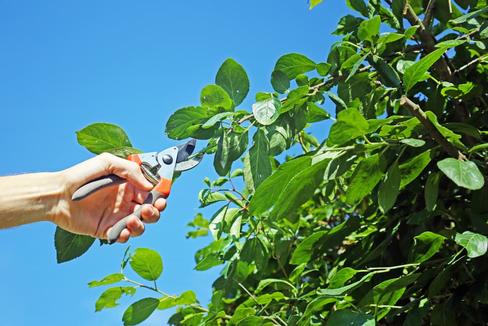 close up of a hand using secateurs to prune a plum tree
