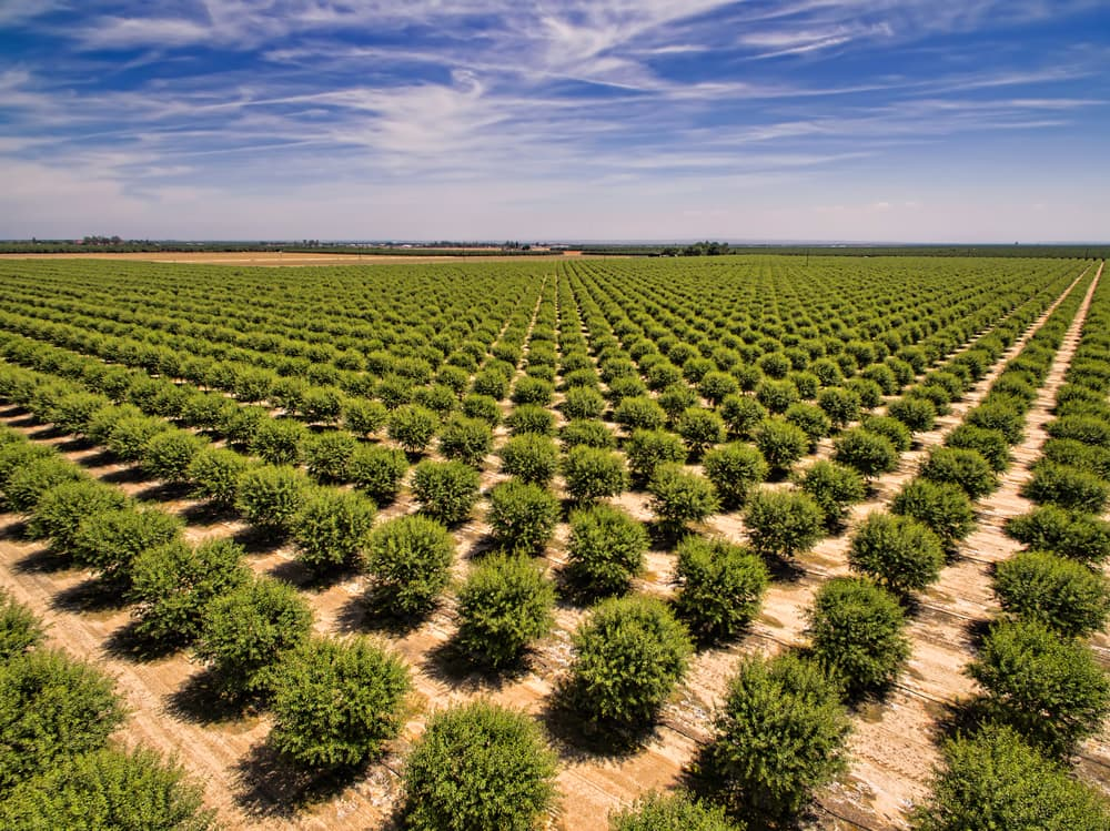 a commercial almond orchard in California
