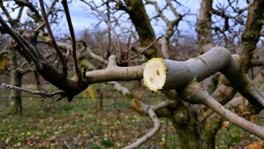 a large branch of a mature apple tree that has been cut
