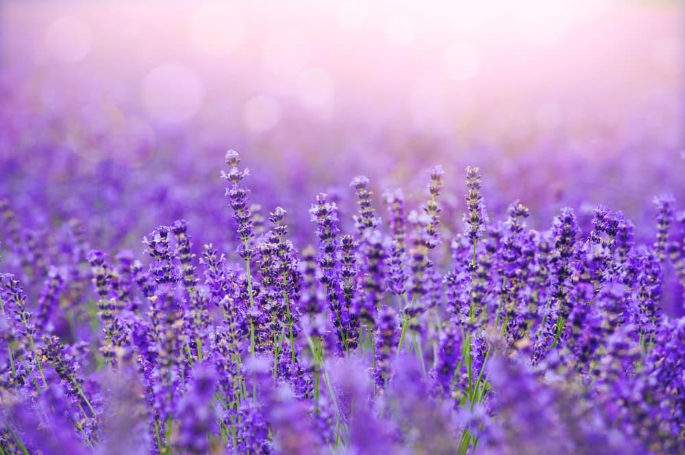 lavender blooms in bright summer sun