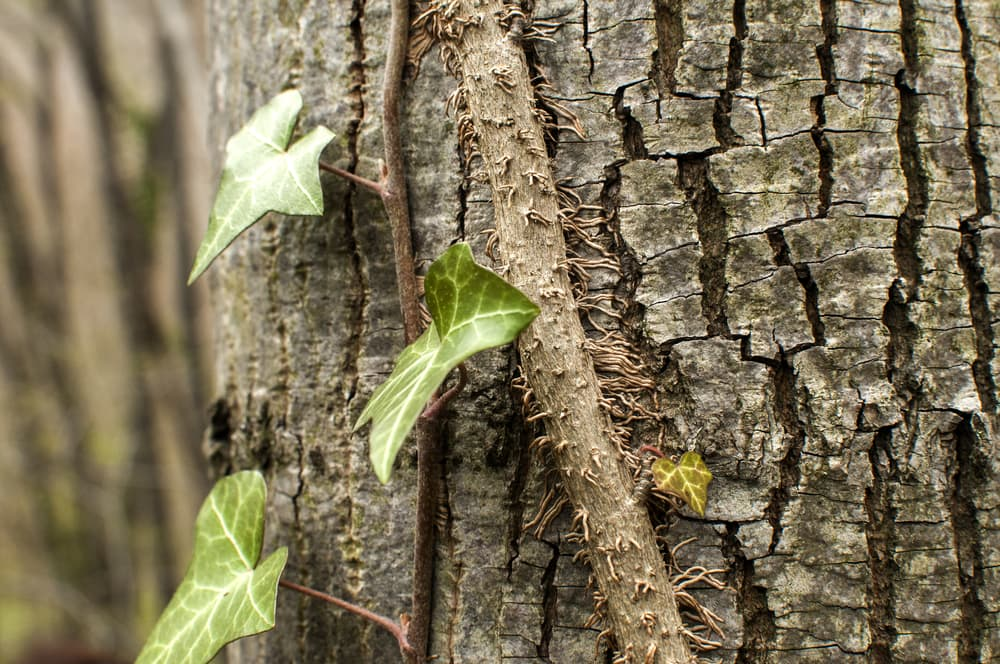 ivy roots attached to the bark of a tree