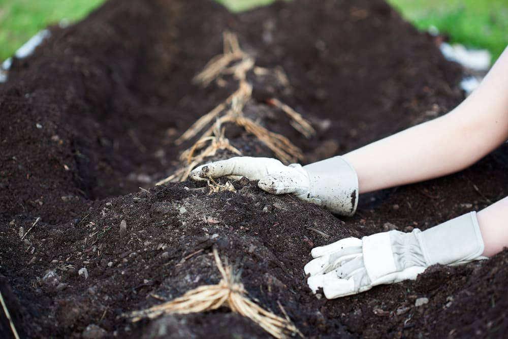 young woman with gardening gloves planting asparagus rhizomes