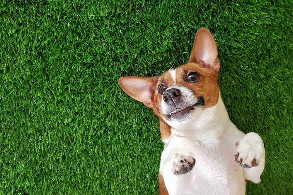 smiling jack russel terrier laid on a lawn