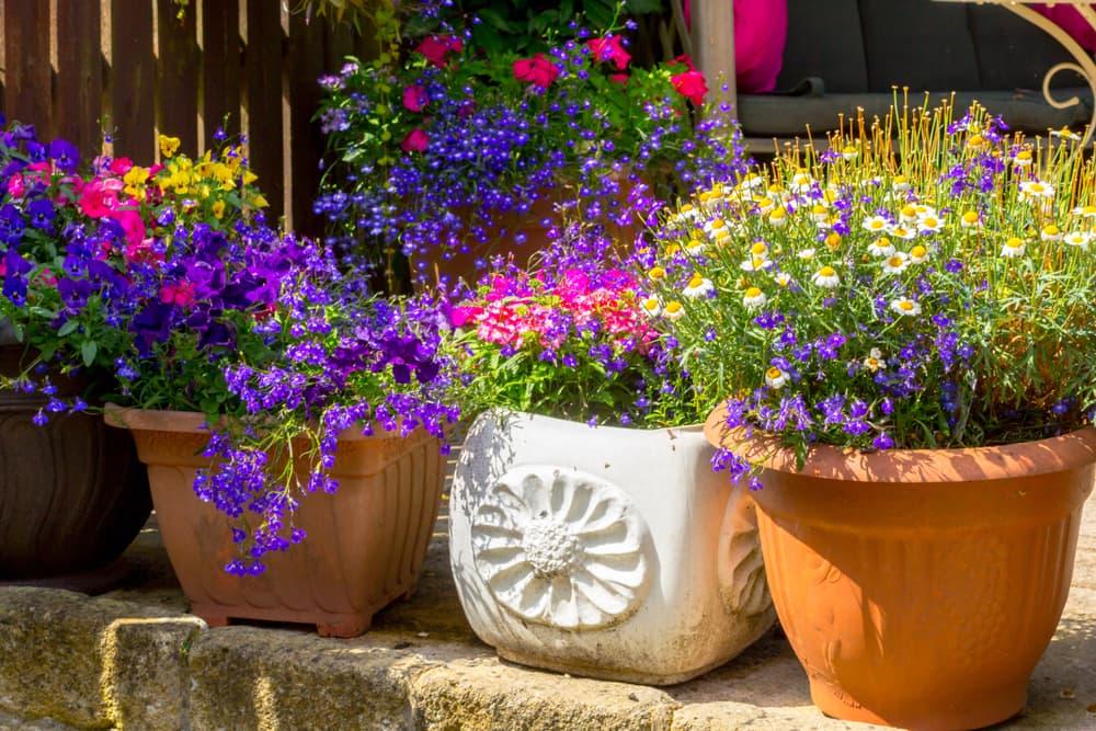 garden flower pots with lobelia and daisies