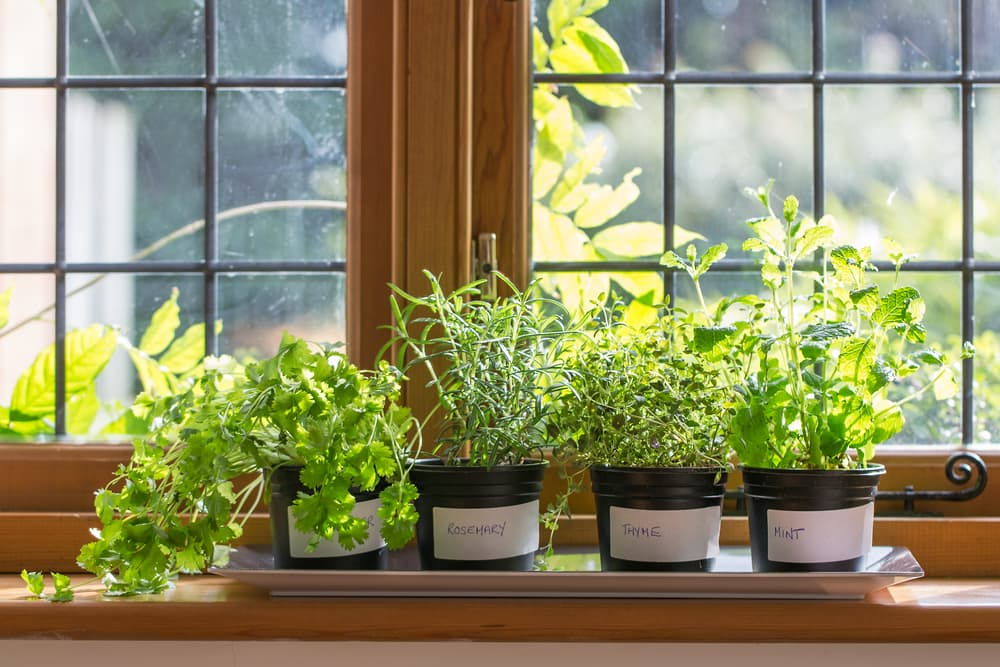 Coriander, Rosemary, Thyme and Mint in black pots on a windowsill