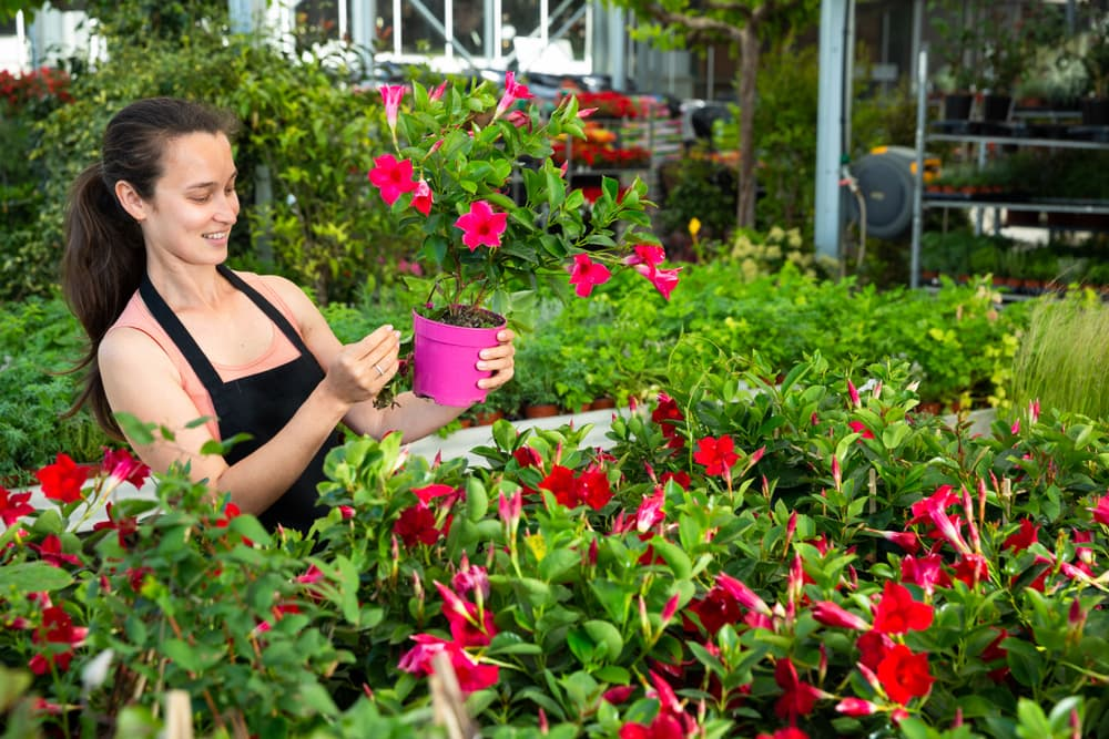 woman tending to mandevilla plants in a greenhouse