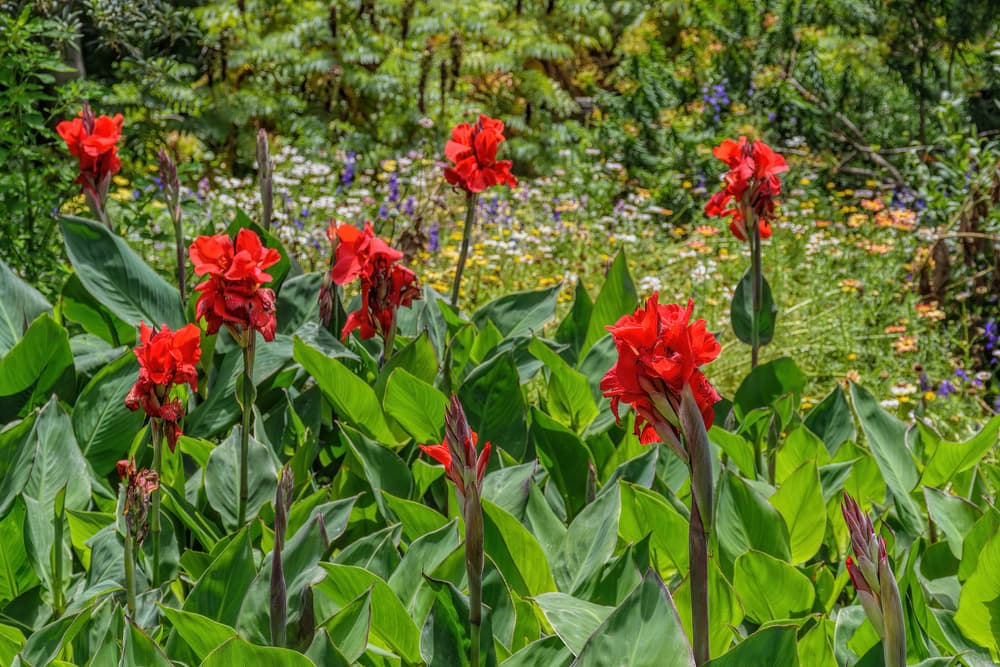red canna lilies with wildflowers in the background