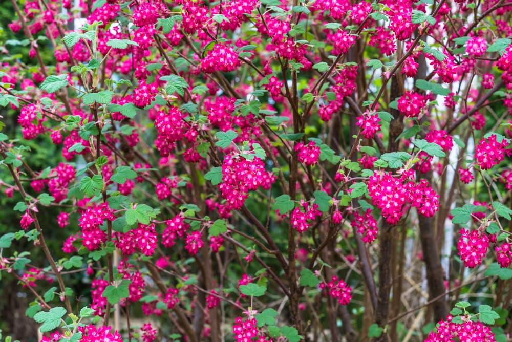 pinkish-red Ribes sanguineum