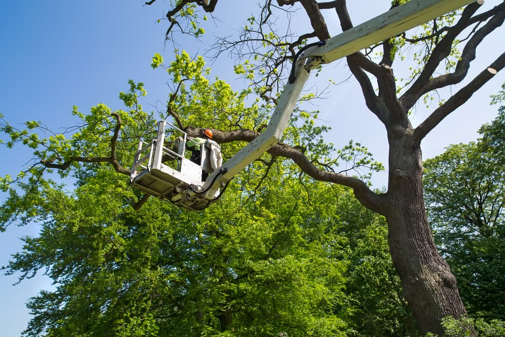 surgeon working on a tree in an elevated cherry picker