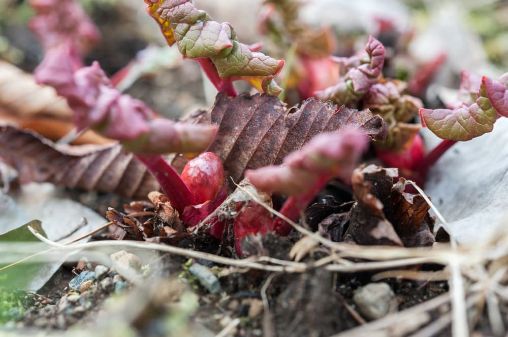 rhubarb crowns emerging from the ground in early Spring