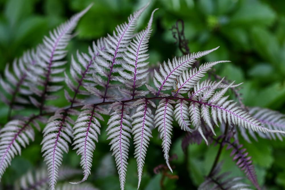 silver tinged Japanese painted fern with green foliage out of focus