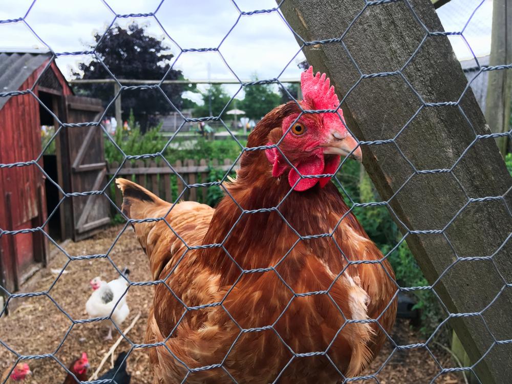 a chicken behind mesh wire