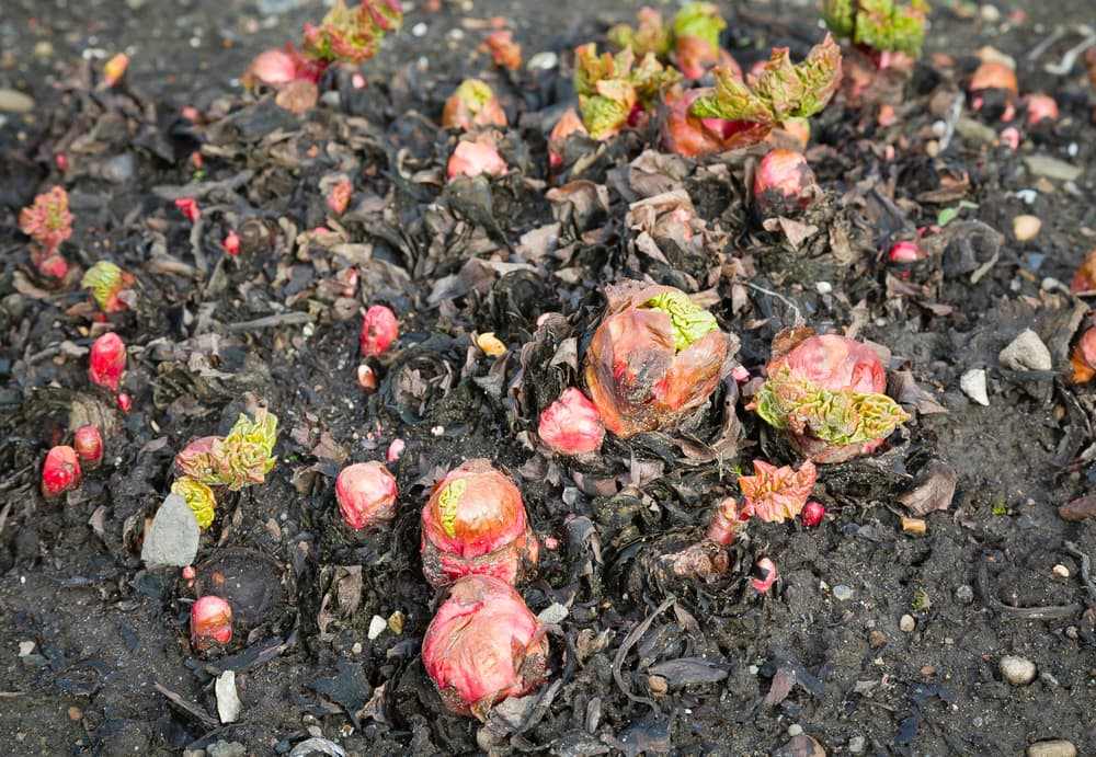 Young shoots emerging from rhubarb crowns