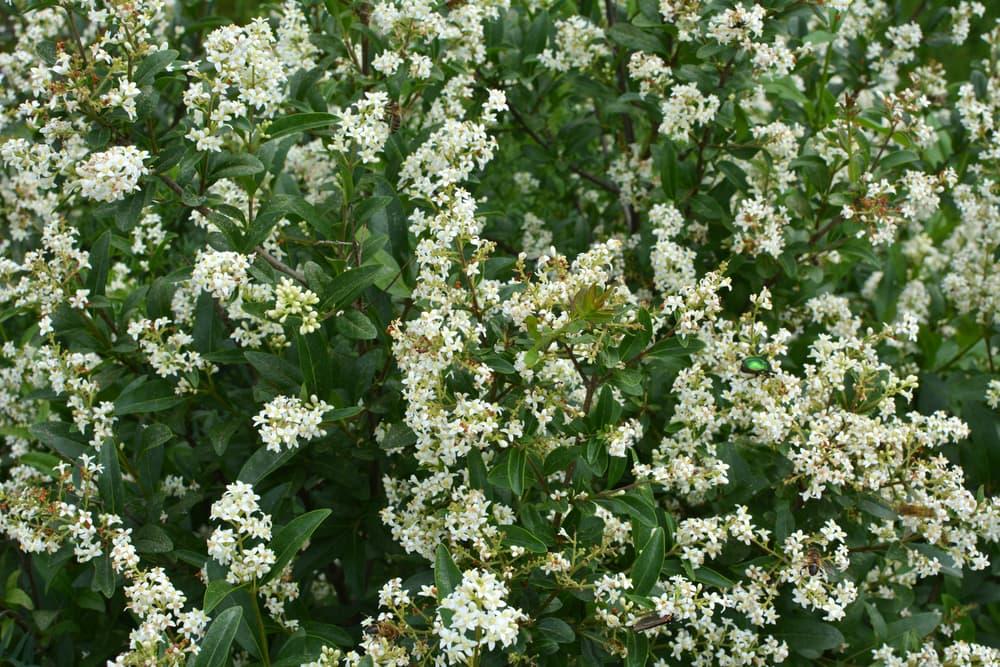 ligustrum vulgare blooming with white flowers