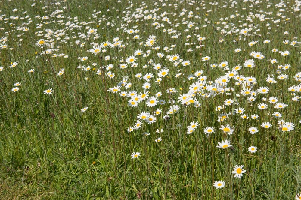 Perennial meadow with Ox Eye Daisy Wildflowers