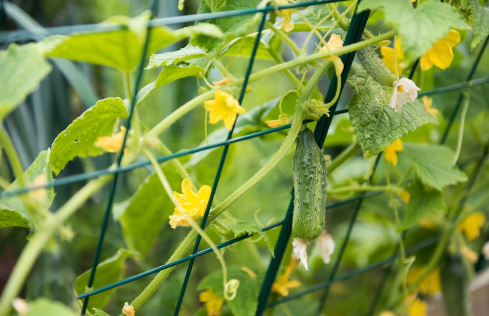 yellow flowers and green fruits of cucumber plant growing against a metal green trellis