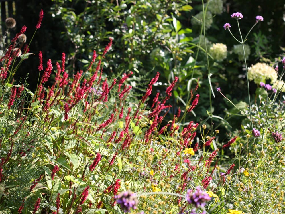 summer garden with red Persicaria amplexicaulis firetail