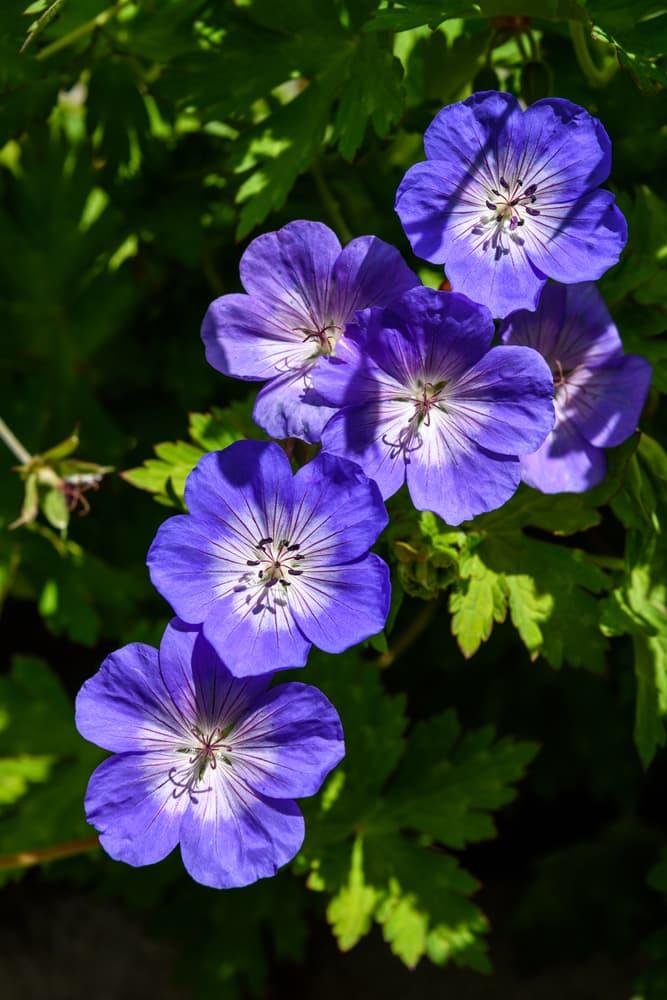 purple flowers of of G. 'Gerwat' or G. [Rozanne]