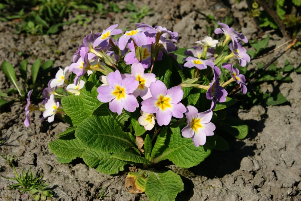 light purple english primrose flowers with green leaves