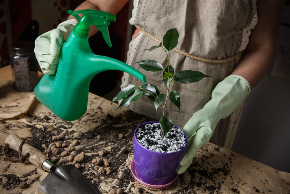 plastic watering can pouring water on a ficus