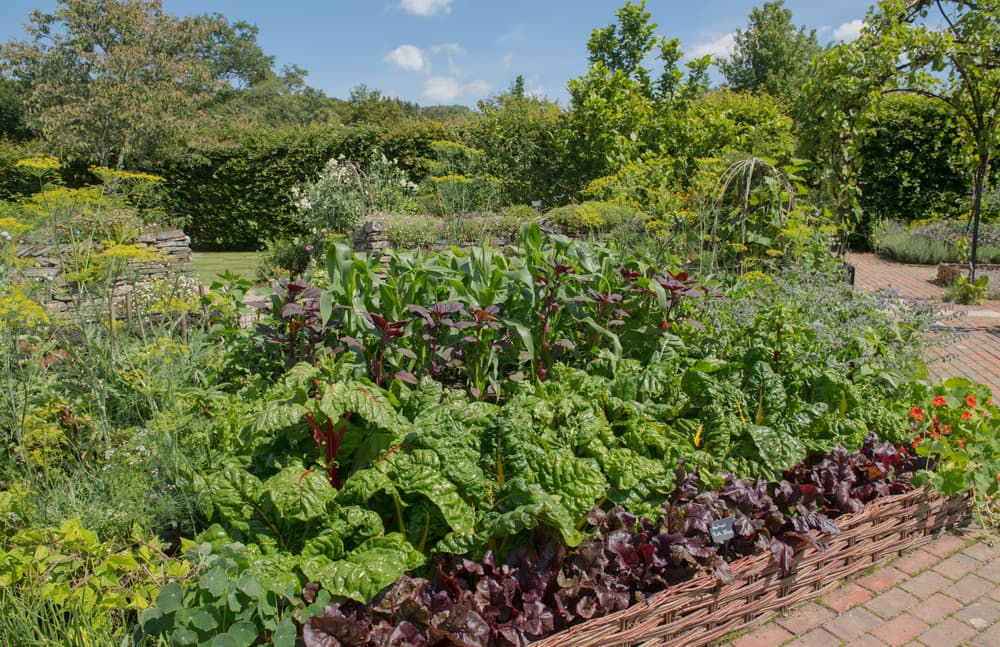 organic vegetable bed with beans, beetroot, chard