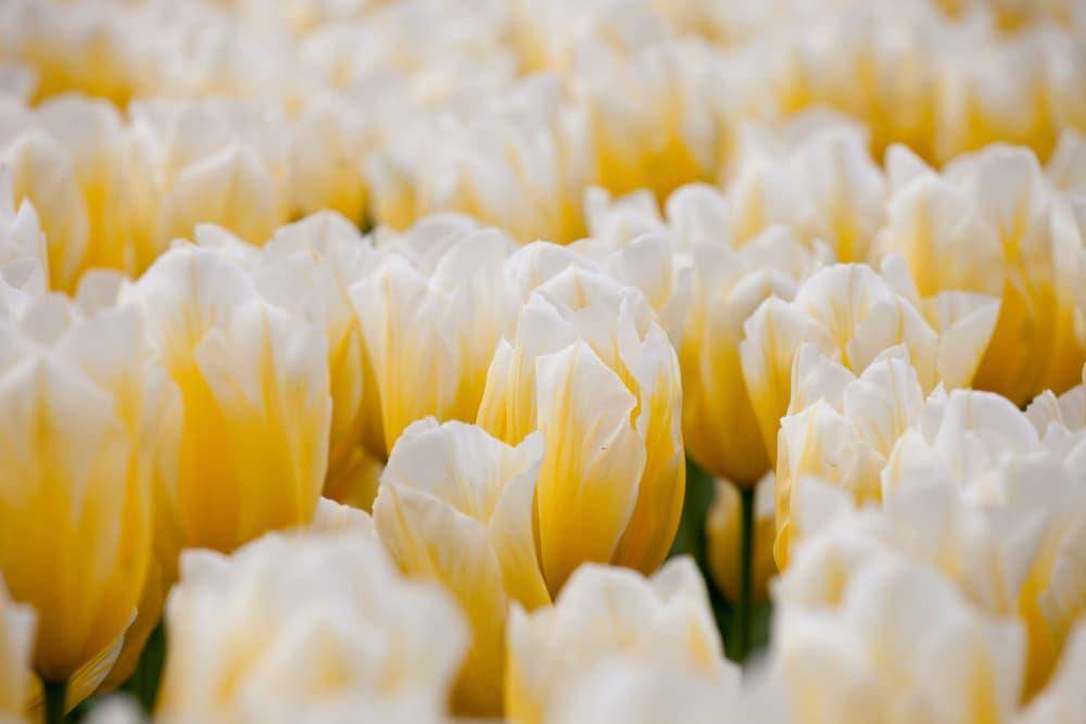 white and yellow gentle tulipa flowers