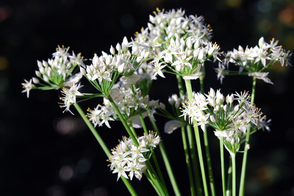 white Allium tuberosum flowers