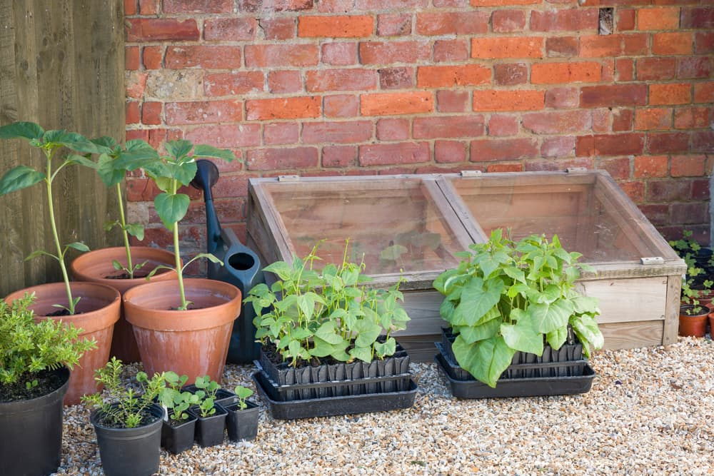 young vegetable plants growing next to a cold frame