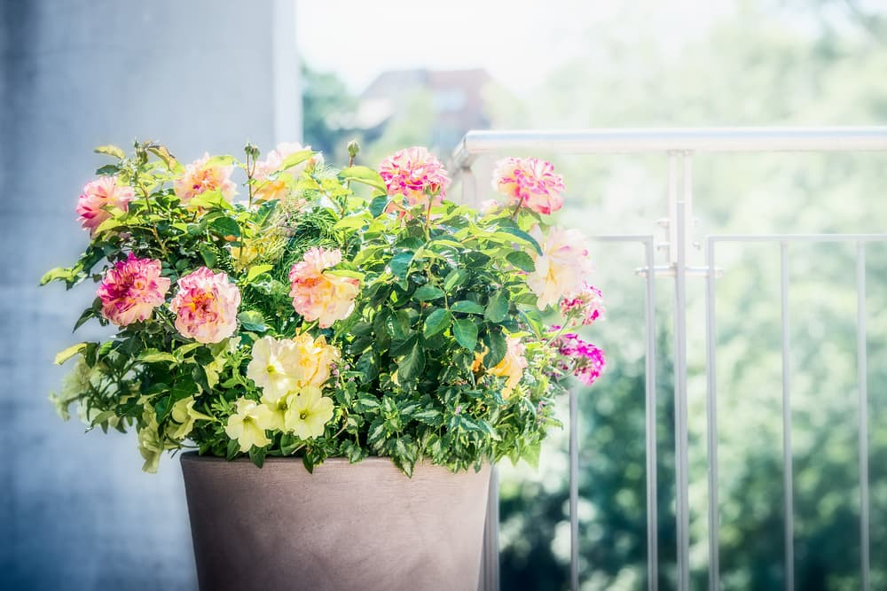 roses, petunias and verbenas flowers in a planter on balcony