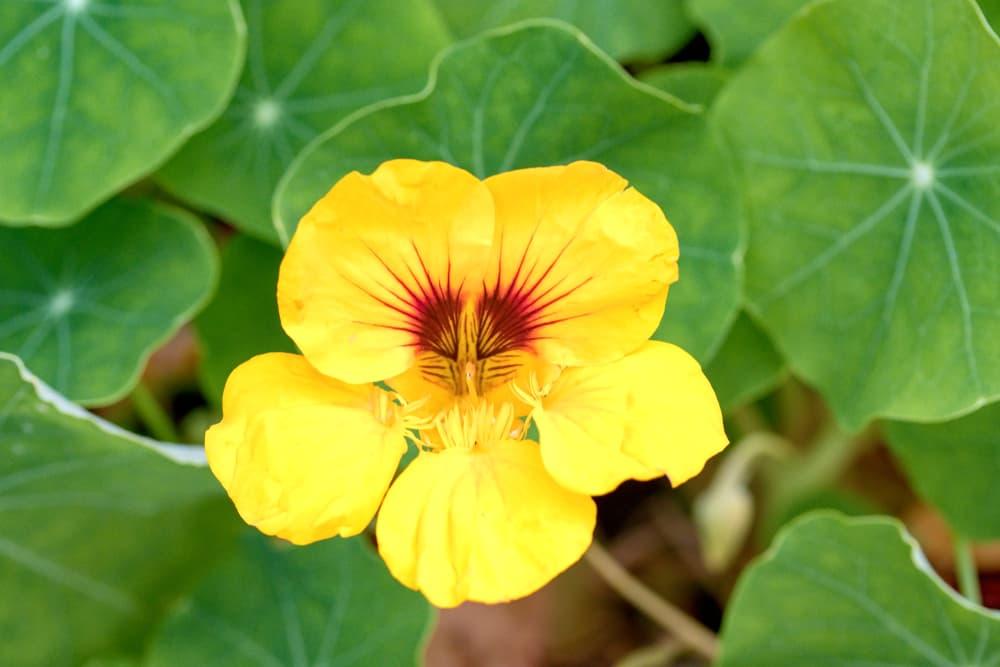 yellow Dwarf Nasturtium flower in focus