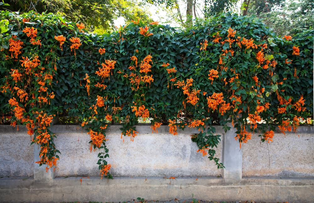 orange trumpet vines growing up a wall