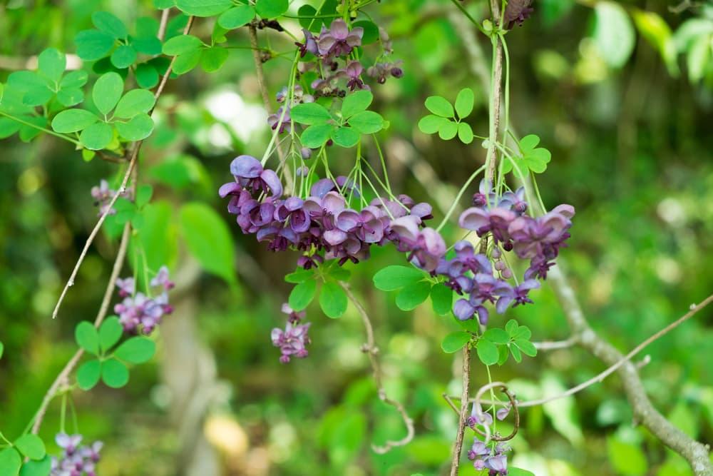 purple flowering Akebia Chocolate vine