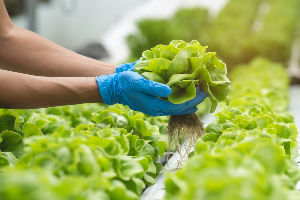 close up of person with blue gloves harvesting lettuce plants