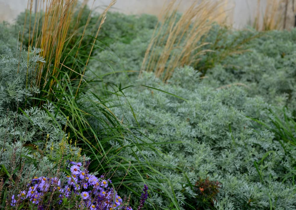 a flower bed with absinthe wormwood, ornamental grass and asters