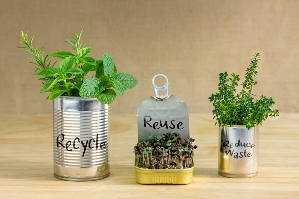 recycled tin cans with salad and herbs growing from them