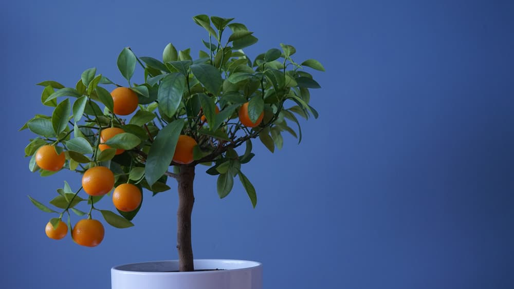 a Miniature citrus tree in a white planter on a dark blue background