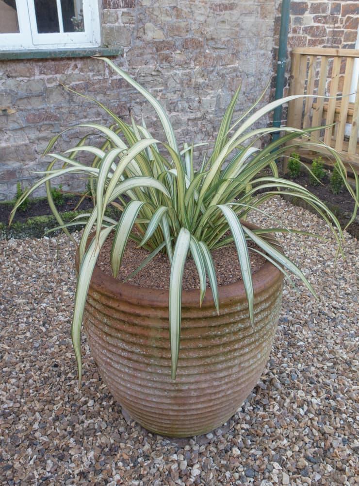 stone planter on gravel containing Phormium 'Cream Delight'