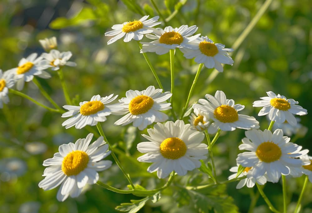 daisy-like yellow and white chamomile flowers in the morning sun