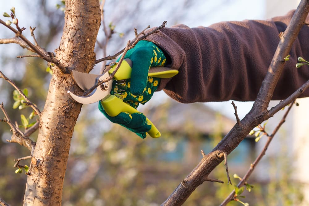hand pruning dead branches of a fruit tree