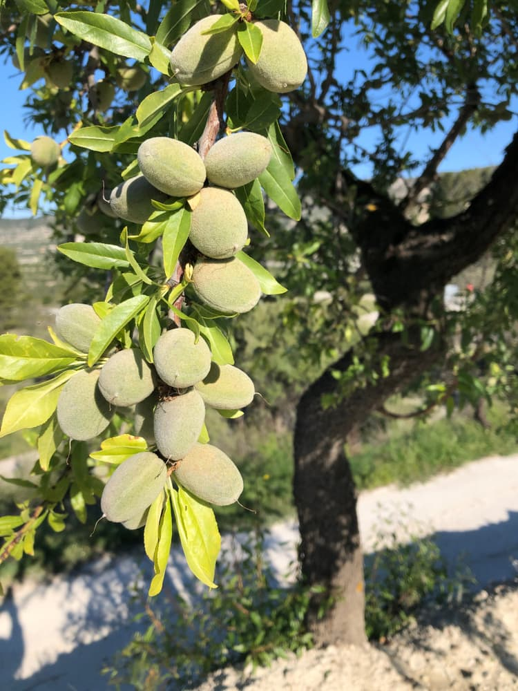 almonds ripening on a tree