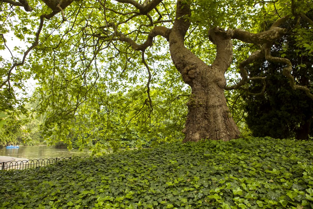 a grand old tree in Battersea Park with a ground-covering of ivy