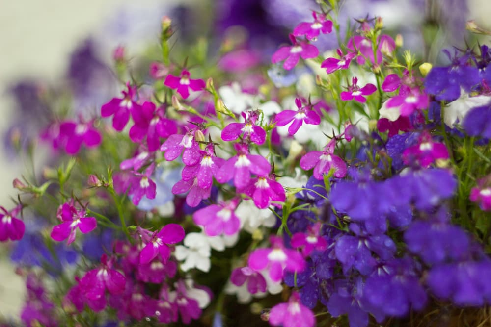 magenta pink and white lobelia flowers in a hanging basket
