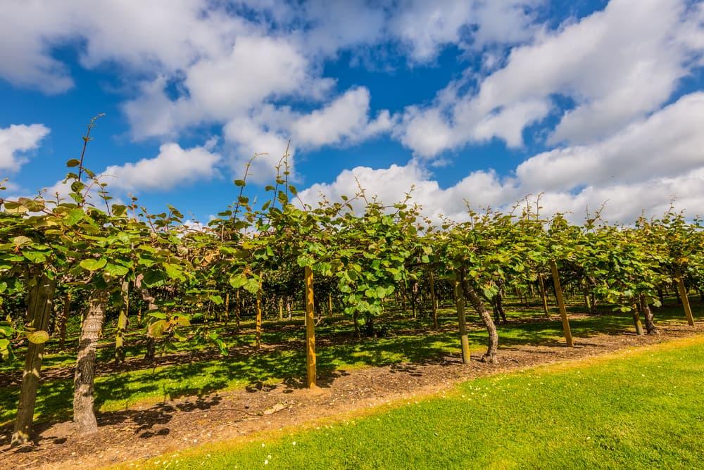 a kiwi plantation in New Zealand