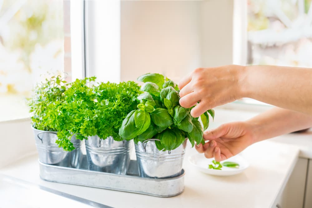parsley, thyme and basil in tin pots