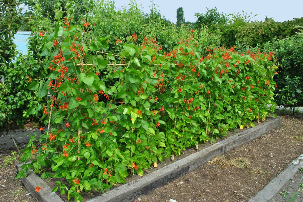 runner beans plants in a raised bed with bright orange flowers