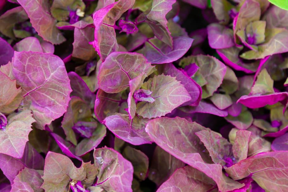 Purple orach leaves