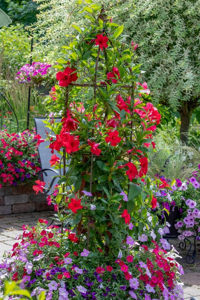 rocktrumpet plant with red flowers growing up a garden obelisk