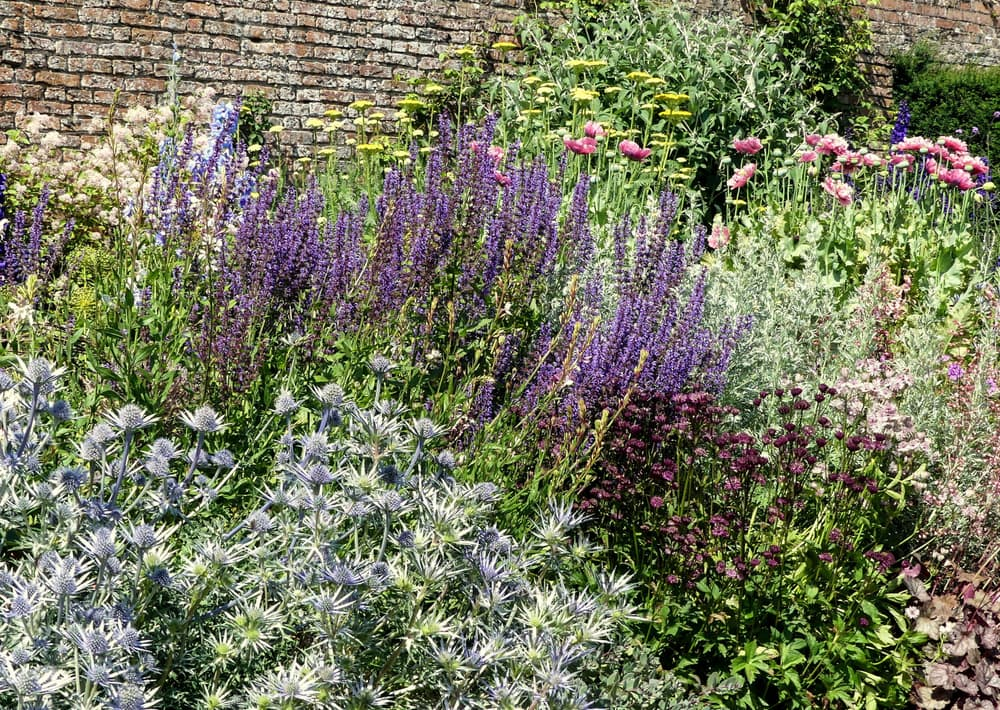 a herbaceous border with sea holly, lavender, poppies, salvia, achillea. Wall in background